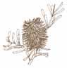 banksia clipart sepia