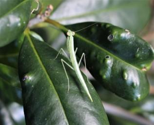small praying mantis