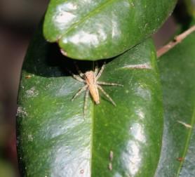 Bronze jumping spider?